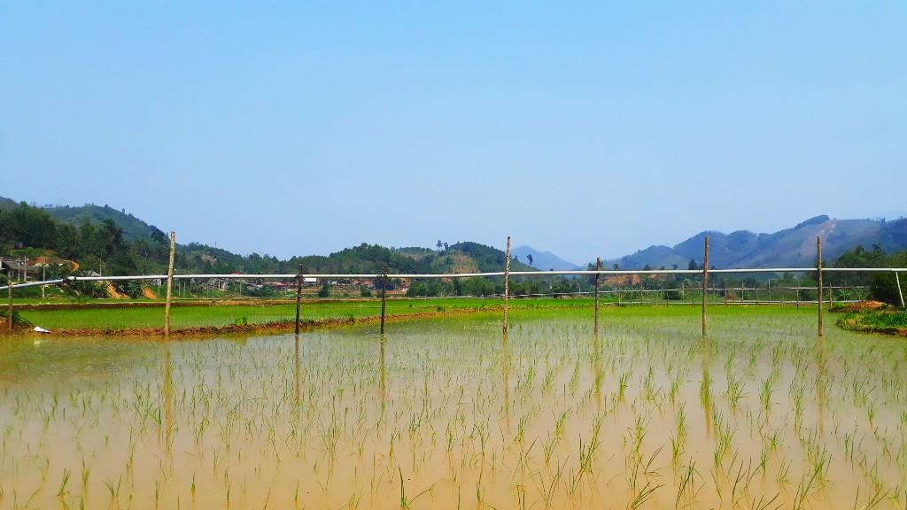 Lúa nước làng quê xã Khả Cửu