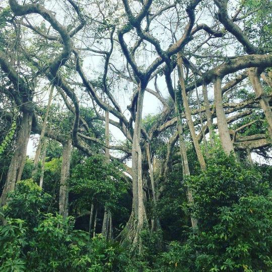 Tận mắt chiêm ngưỡng cây đa ngàn năm