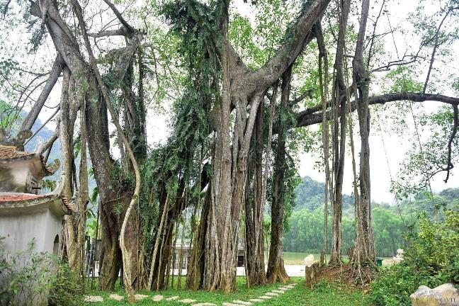 Cây đa di chuyển có tuổi thọ hàng trăm năm tuổi tại Ninh Bình